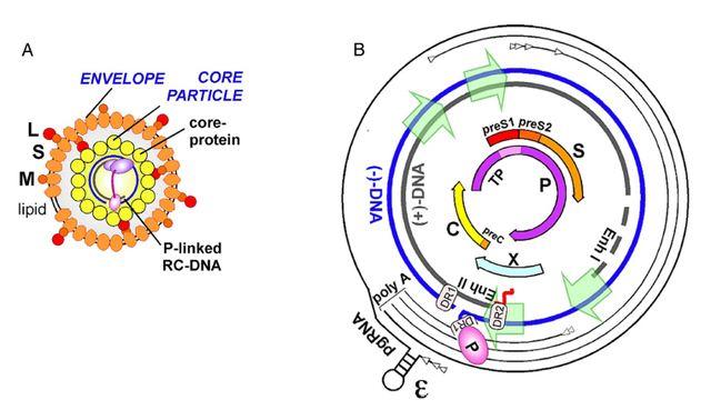 让基因转录作用加强的增强子值得研究么?图