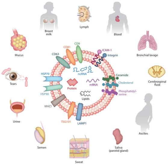 外泌体提纯提取方式有哪些?色谱法怎么样?图