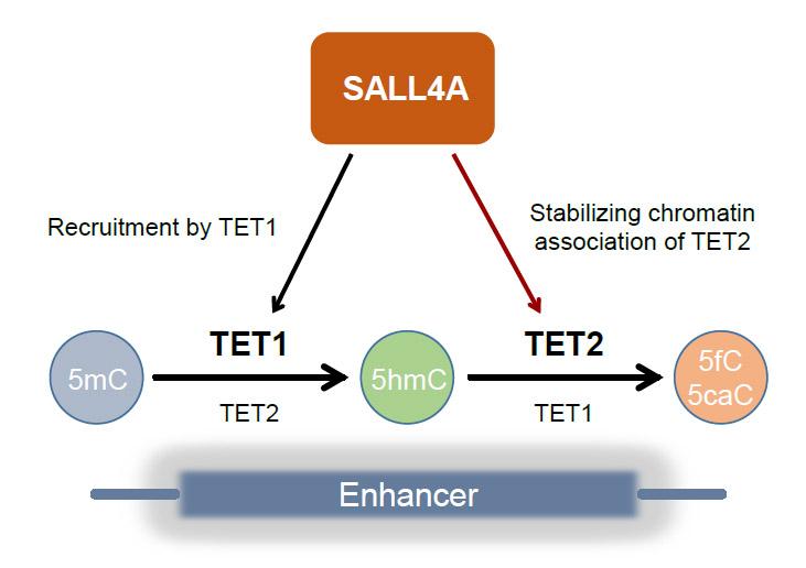 朱冰课题组发现SALL4A蛋白调节增强子上的DNA去甲基化图