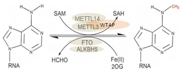 【推荐】RNA甲基化修饰(m6A)研究技术及方案设计图
