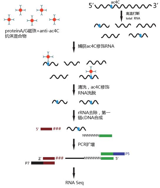 率先推出!RNA乙酰化ac4C测序acRIP-seq图