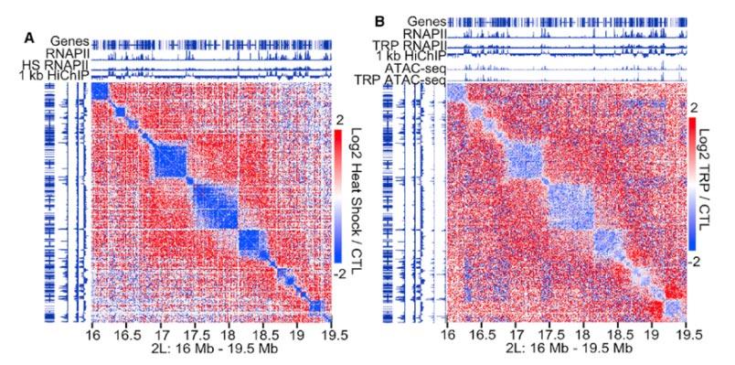 (A)高分辨率的Hi-C contact图显示,哺乳动物存在强烈的点对点相互作用,表现为Hi-C热图中的亮点,对应于接触结构域角处的CTCF loop 。 (B)人类右侧CTCF位点优先与染色体右侧的其它基因组序列相互作用,左侧CTCF位点与左侧相互作用,这与果蝇是相反的 。 (D)进一步发现,小的活跃的区室高度富集在RNAPII Ser2ph位点 (丝氨酸磷酸化) 。 (E)为了确定这些结果,进行了RNAPII的ChIA-PET以及Hi-C 。 (F)通过GRO-seq发现,发生在A区室的基因与基因之间的交互是与表达量相关的 。