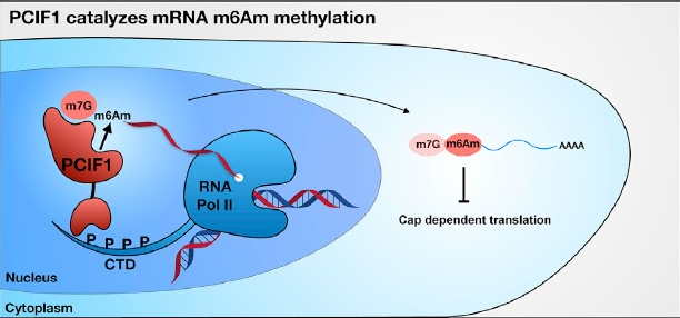 [新品上线]RNA甲基化修饰 m6Am-Exo-seq测序技术服务隆重上市图
