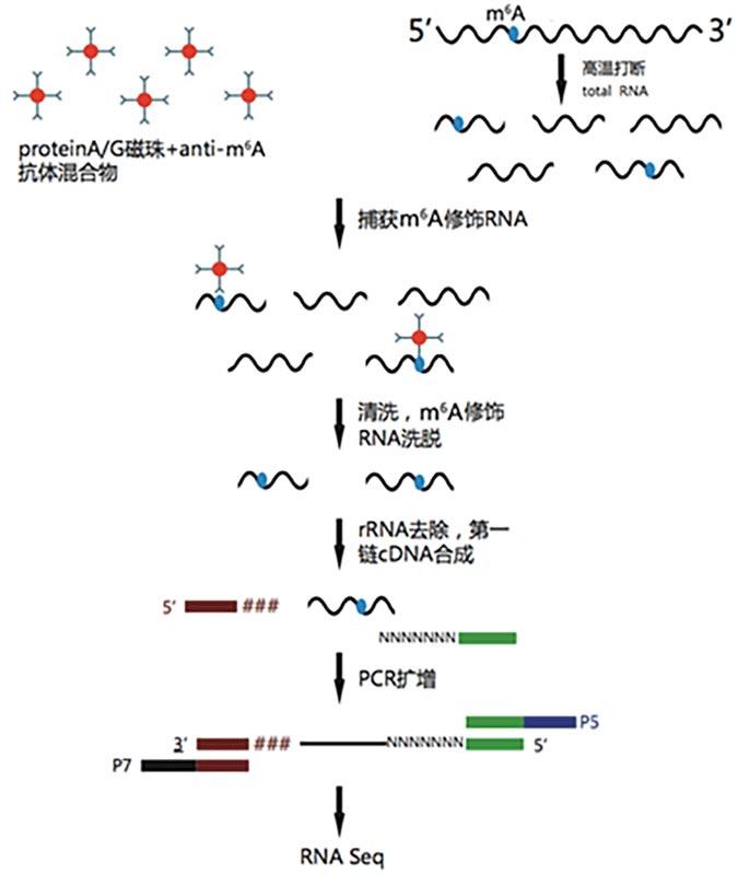 微量RNA甲基化(m6A)免疫共沉淀高通量测序(meRIP-seq)图
