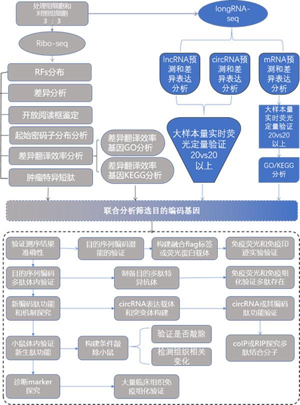 环状RNA翻译蛋白质鉴定与功能机制研究图