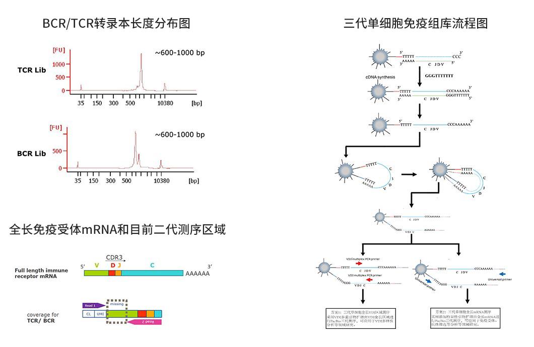 三代单细胞免疫组库研究方案